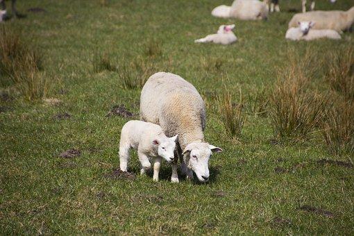sheep-3302575__340